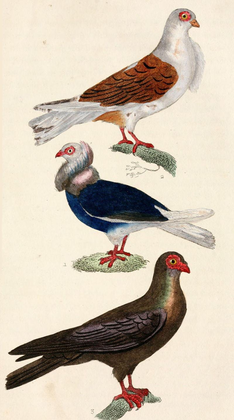buffon_pigeons