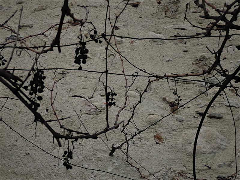 160101_vigne